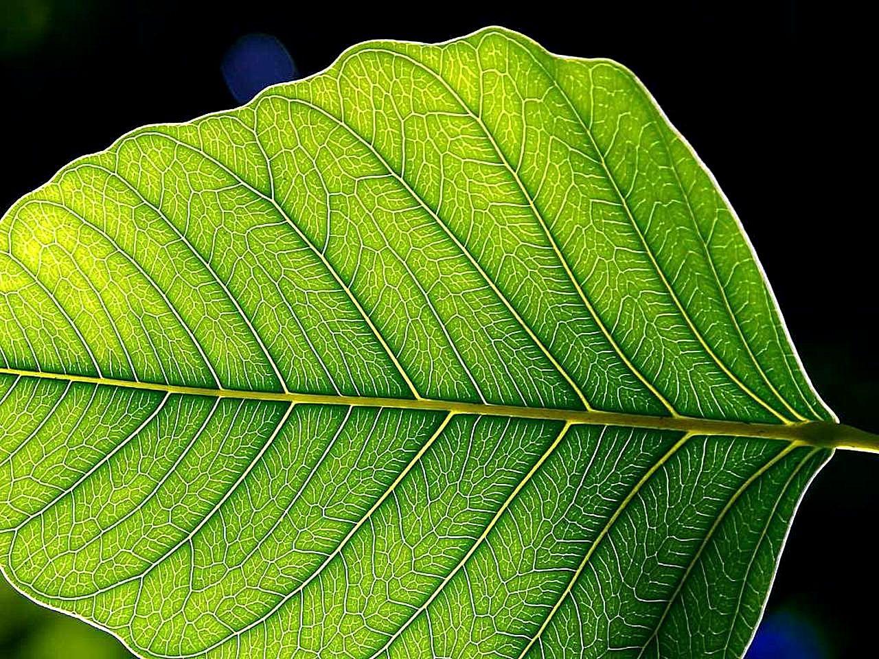 File:Green leaf leaves.jpg - Wikimedia Commons