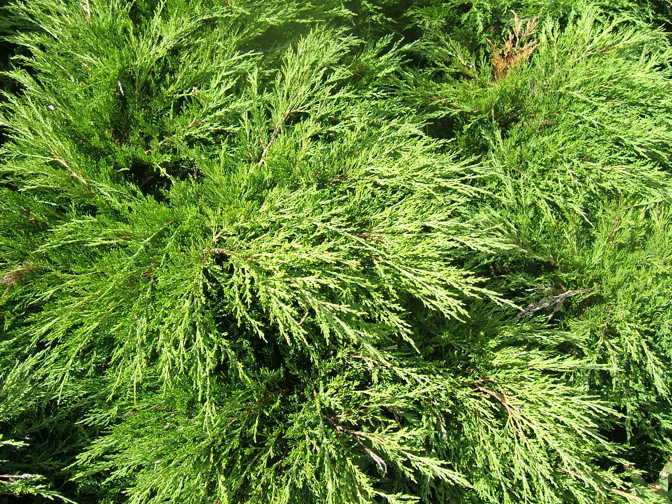 Sabin mature speed width treated juniperus