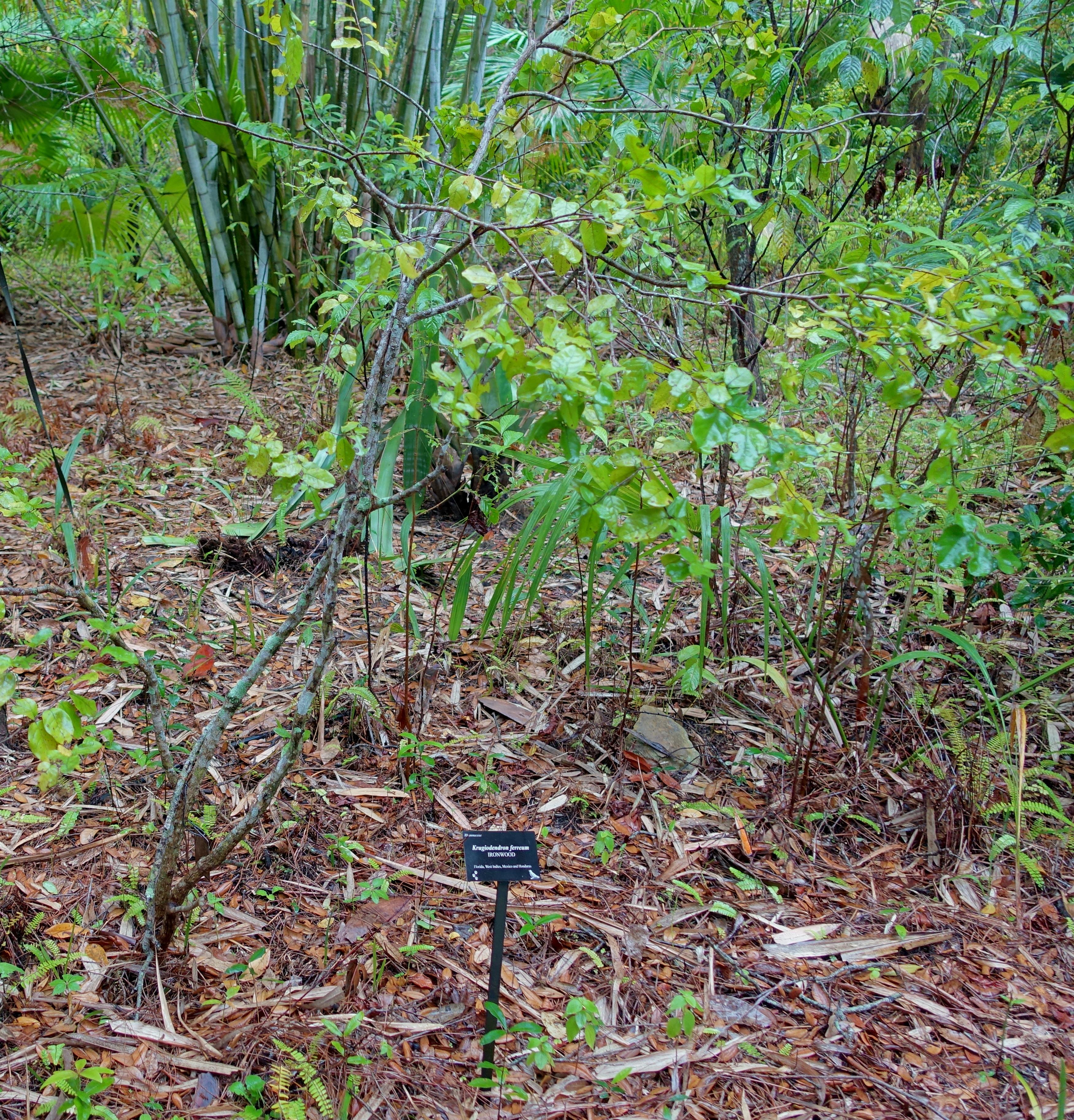 File krugiodendron ferreum mckee botanical garden vero - Mckee botanical gardens vero beach ...