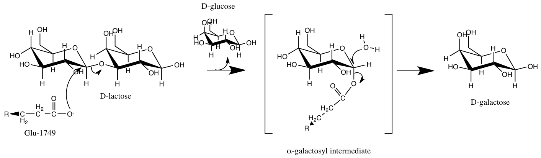 Filelactase Mechanismg Wikimedia Commons