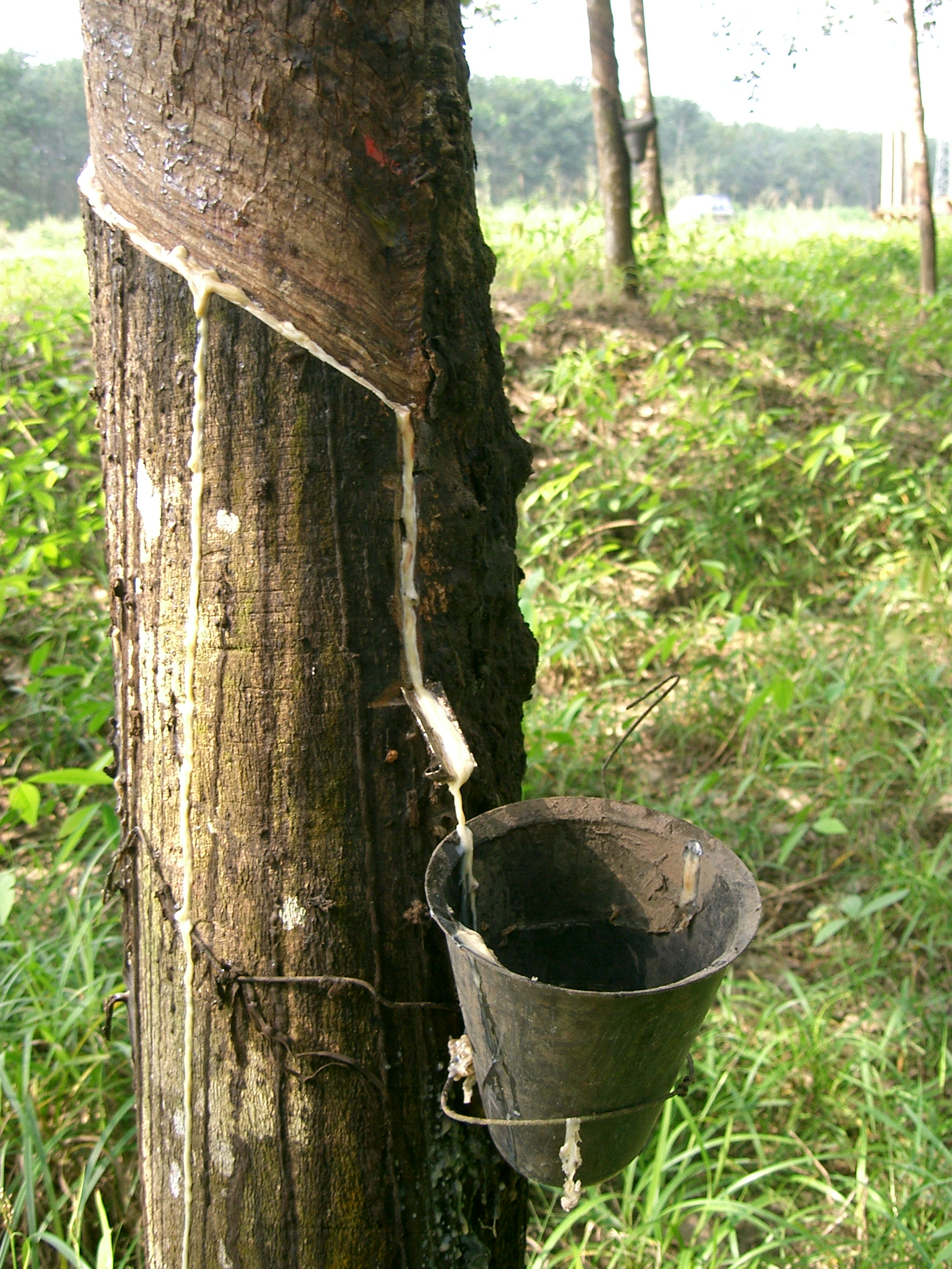 Is Natural Rubber A Renewable Resource