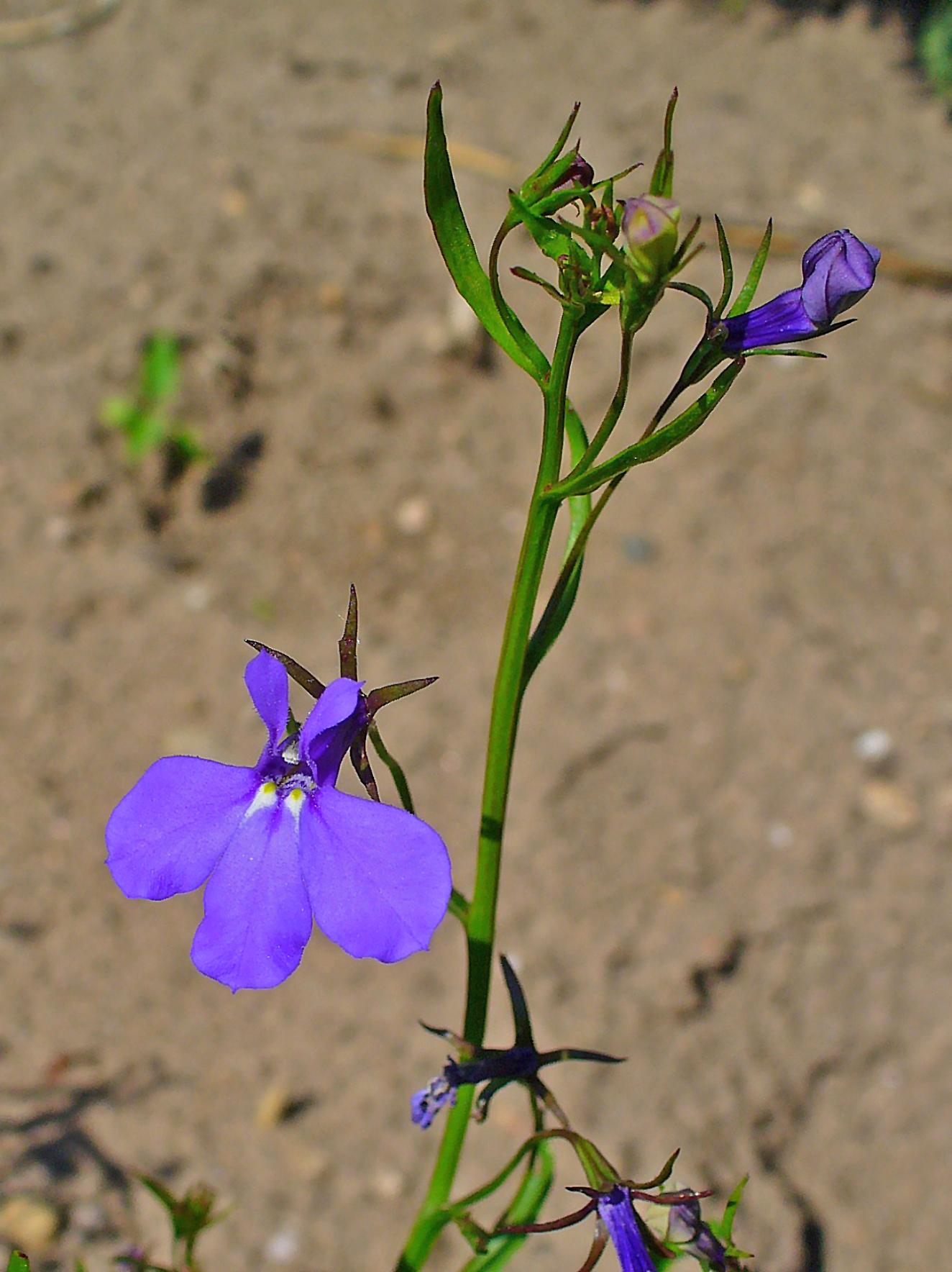 Filelobelia Erinus 002jpg Wikimedia Commons