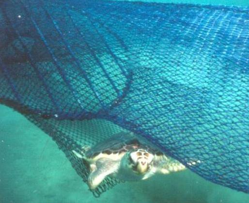 A loggerhead sea turtle escapes a circular fisherman's net via a TED.