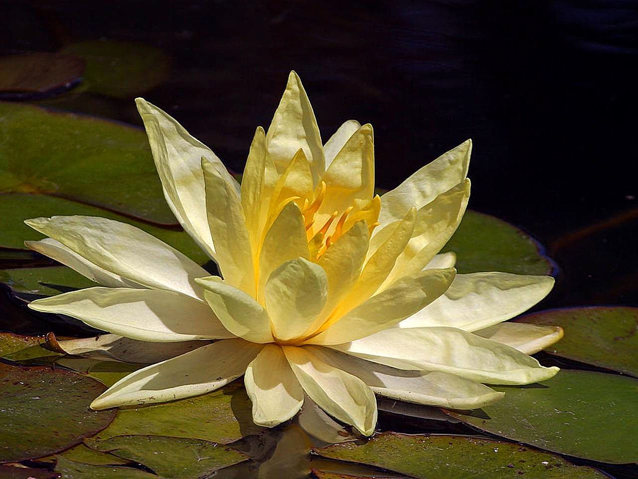 Lotus flower history - File Lotus Yellow Flower Jpg