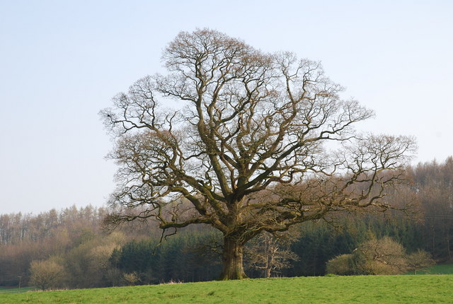 Magnificent tree near Old Wardour Castle - geograph.org.uk - 390957