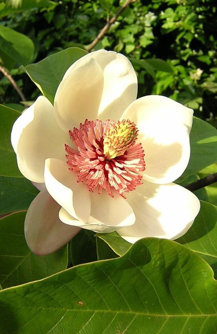 File:Magnolia wieseneri.jpg - Wikipedia, the free encyclopedia Magnolia