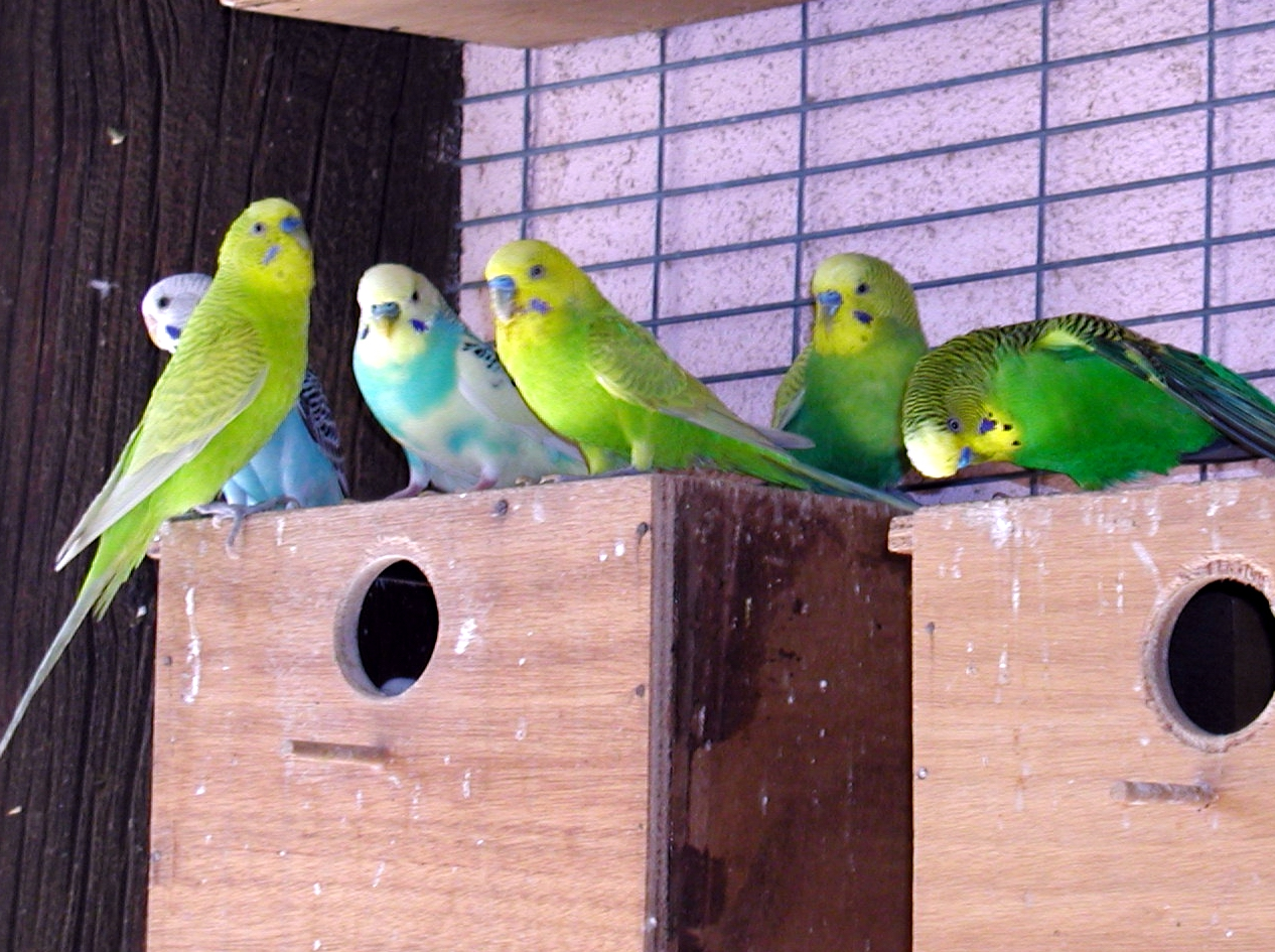 The Birds Of Australia That Are Raised As Pets Coops Cages