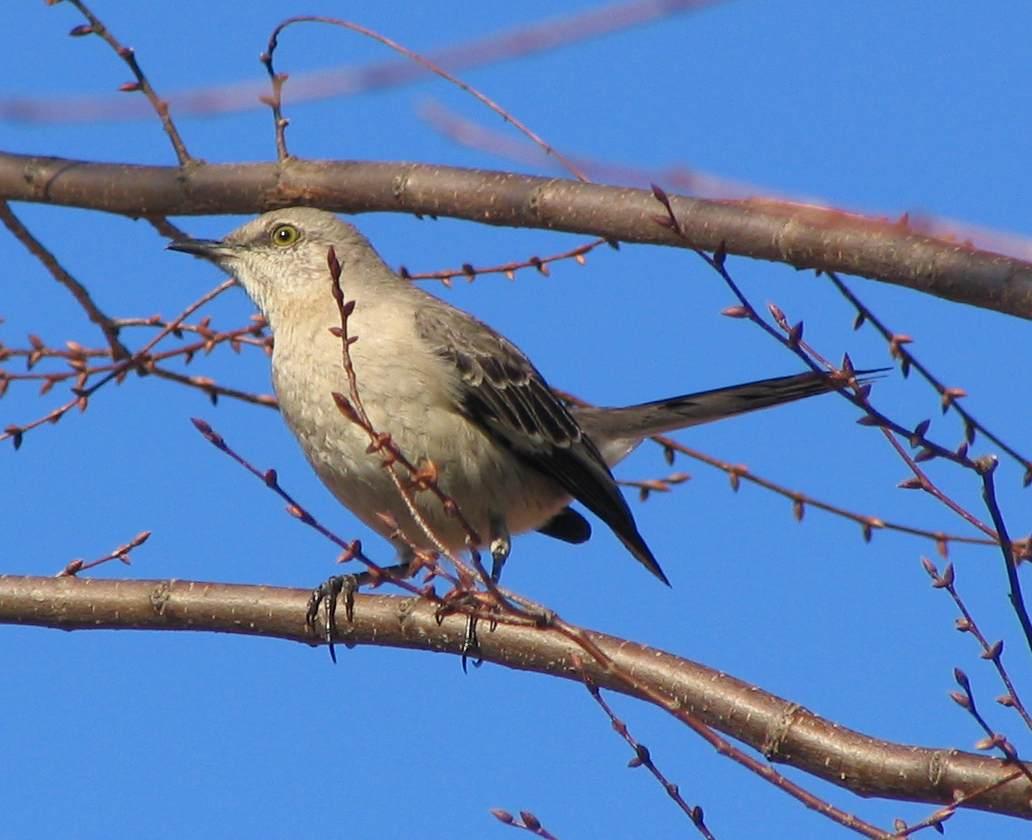 external image Northern_Mockingbird_in_tree_-_side_view_P.2005.03.29.jpg