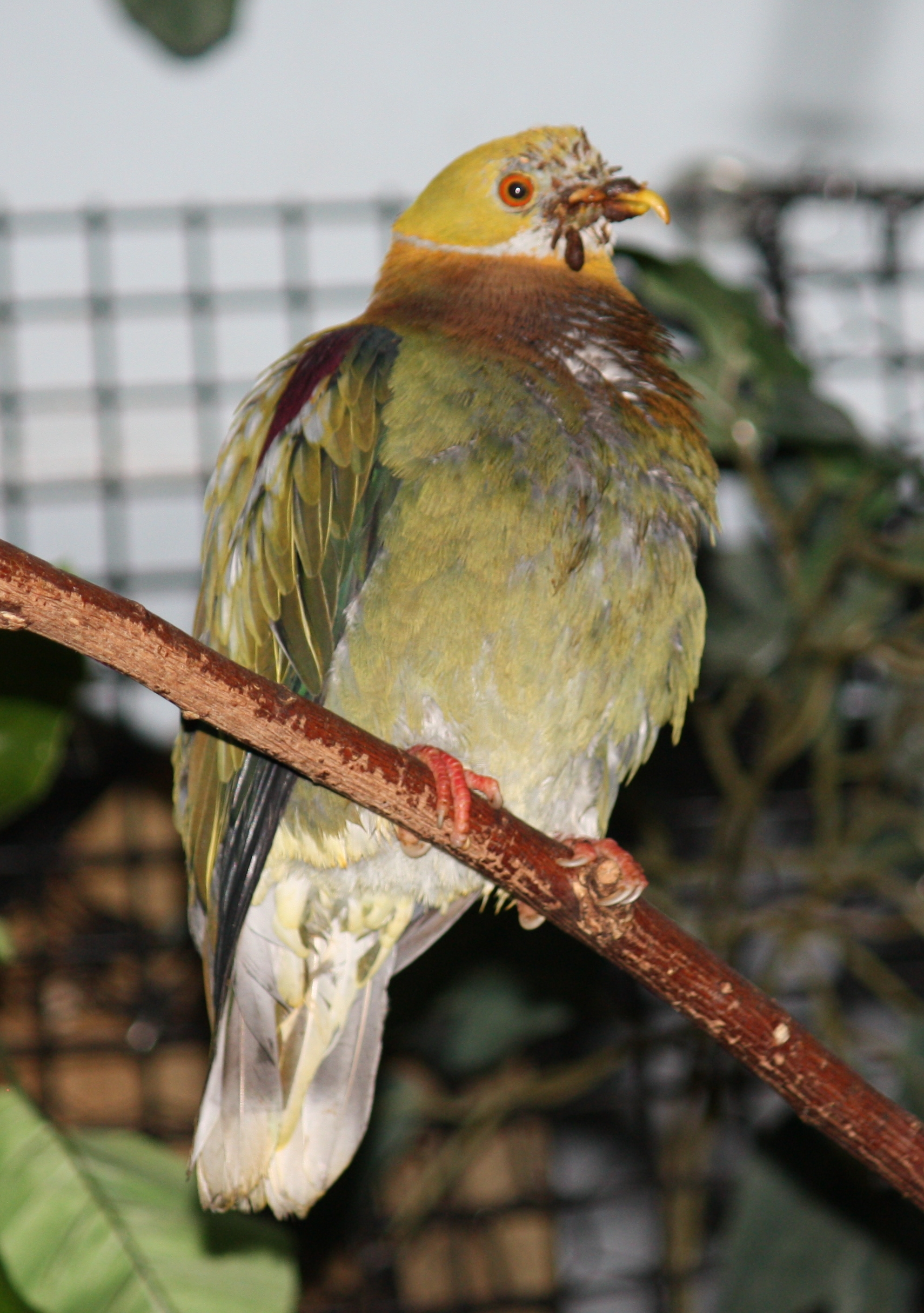 Ornate Fruit Dove P ornatus