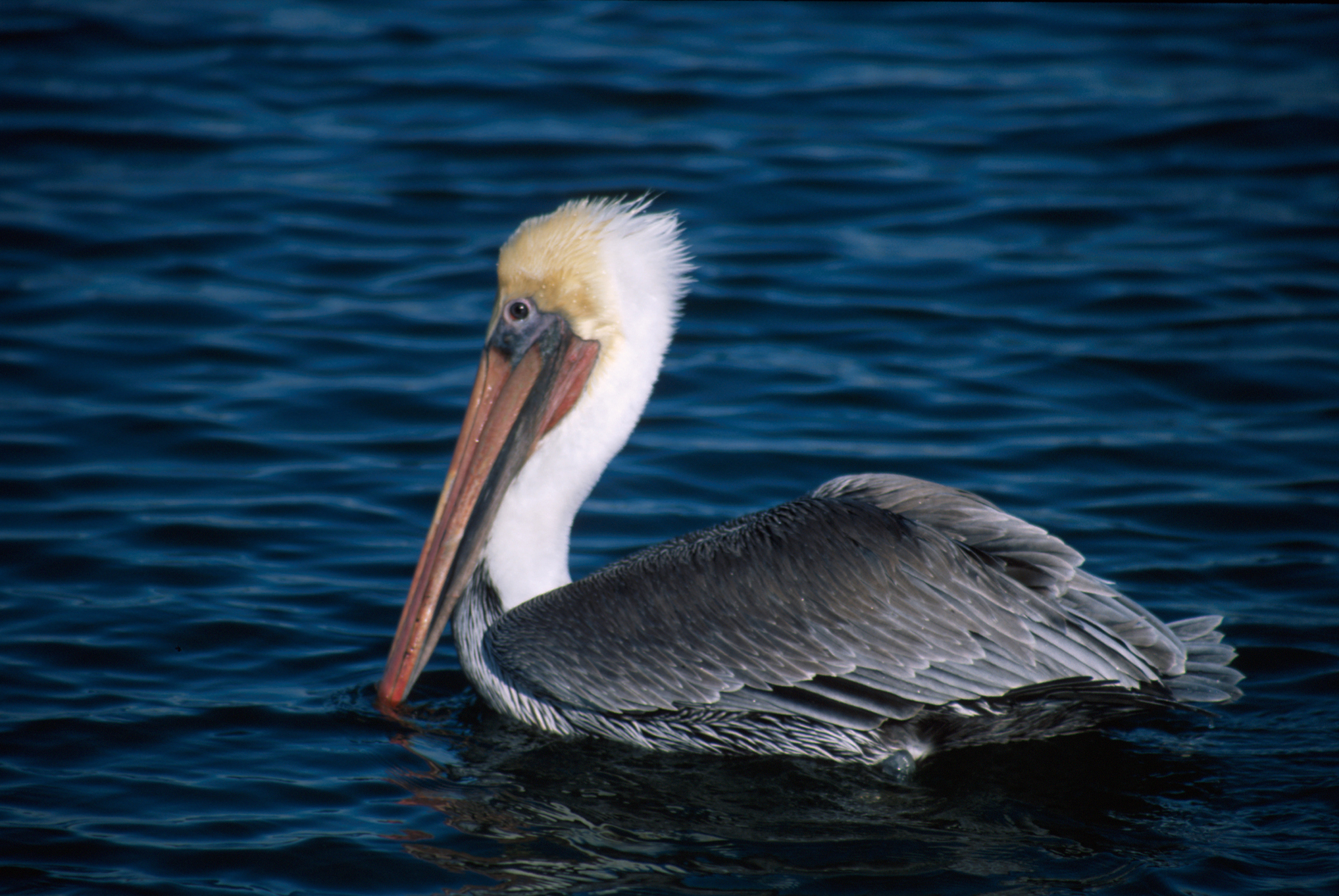 National Birds Of America >> File:Pelecanus occidentalis NBII.jpg - Wikimedia Commons