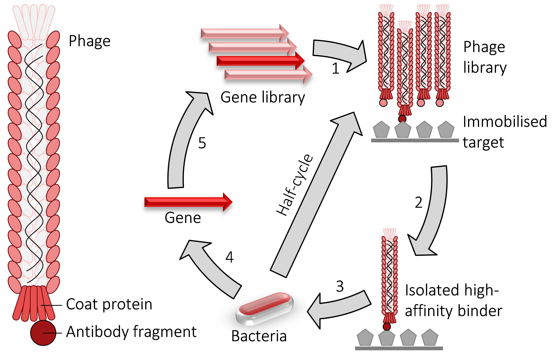 Phage display - Wikipedia