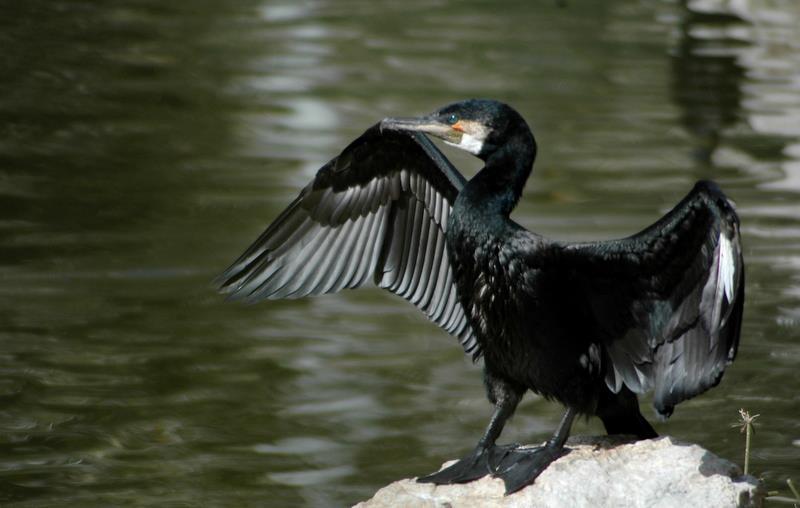 ברווז שחור