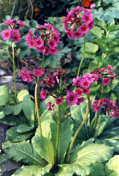 Liste des plantes aux Introuvables ( Mr Carrier )  Primula_burmanica