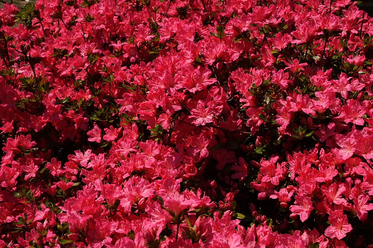 Fall Blooming Bushes