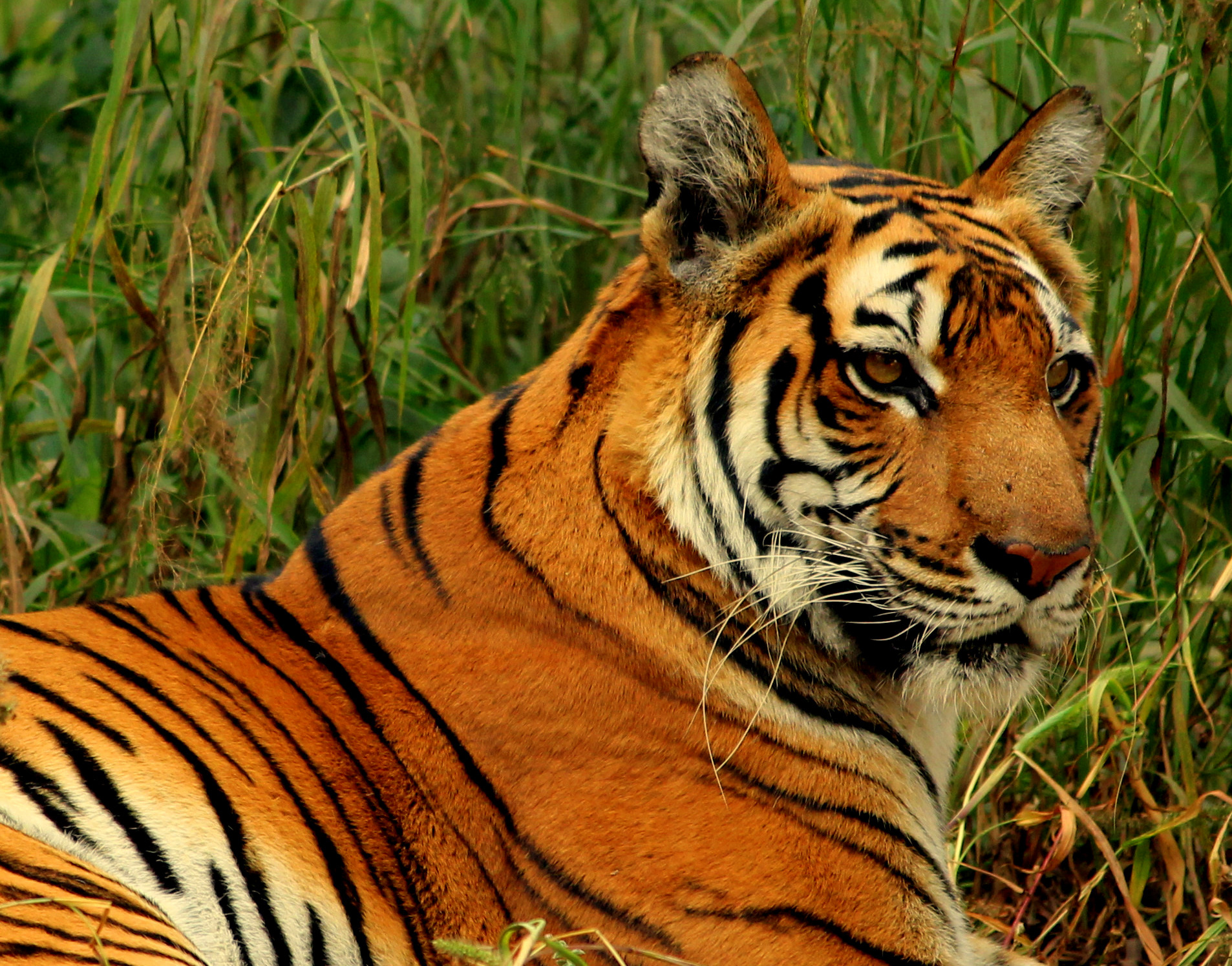 File royal bengal tiger at new wikimedia commons for Bengala asia
