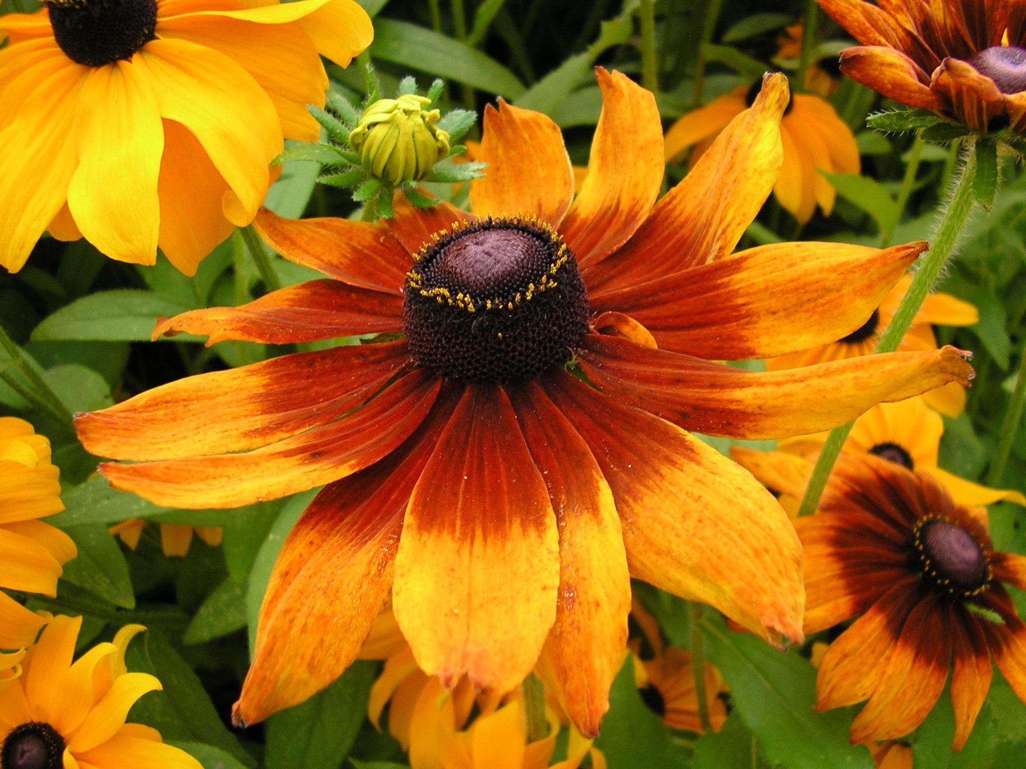Рудбекия - Садовые растения и цветы. Florets.ru