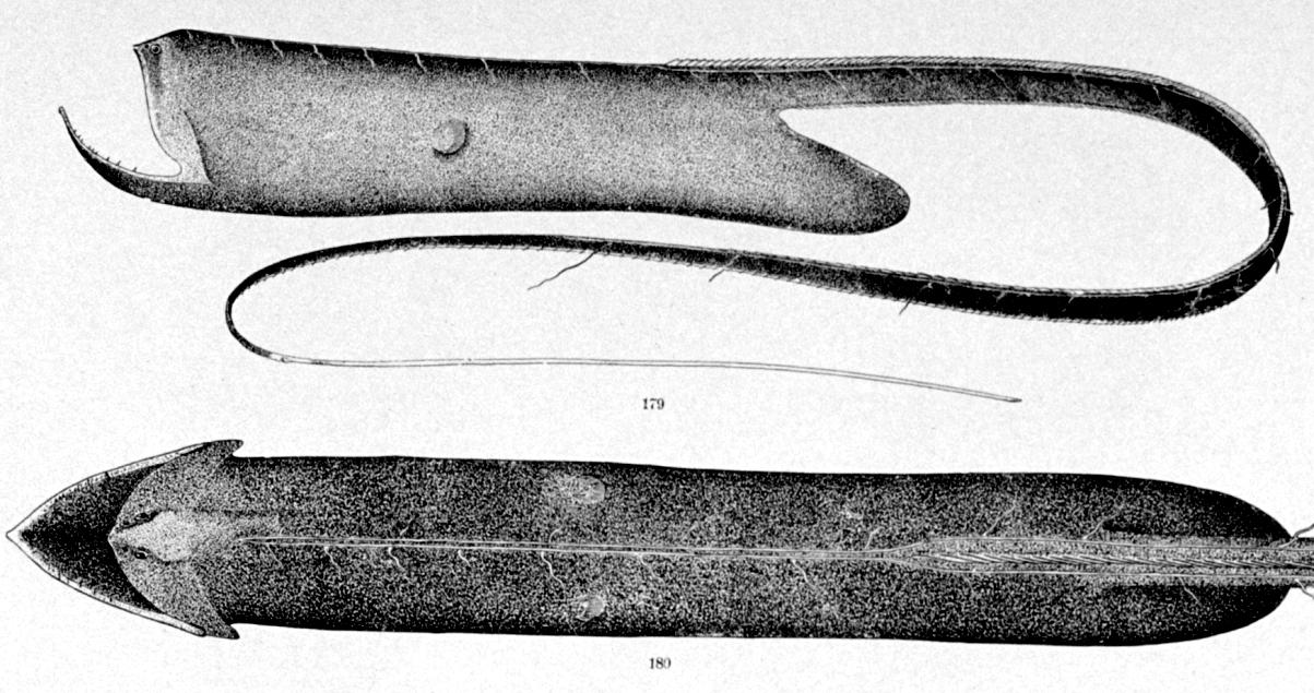 Los peces sacos son algunos de los integrantes más interesantes de los peces de los fondos abisales.