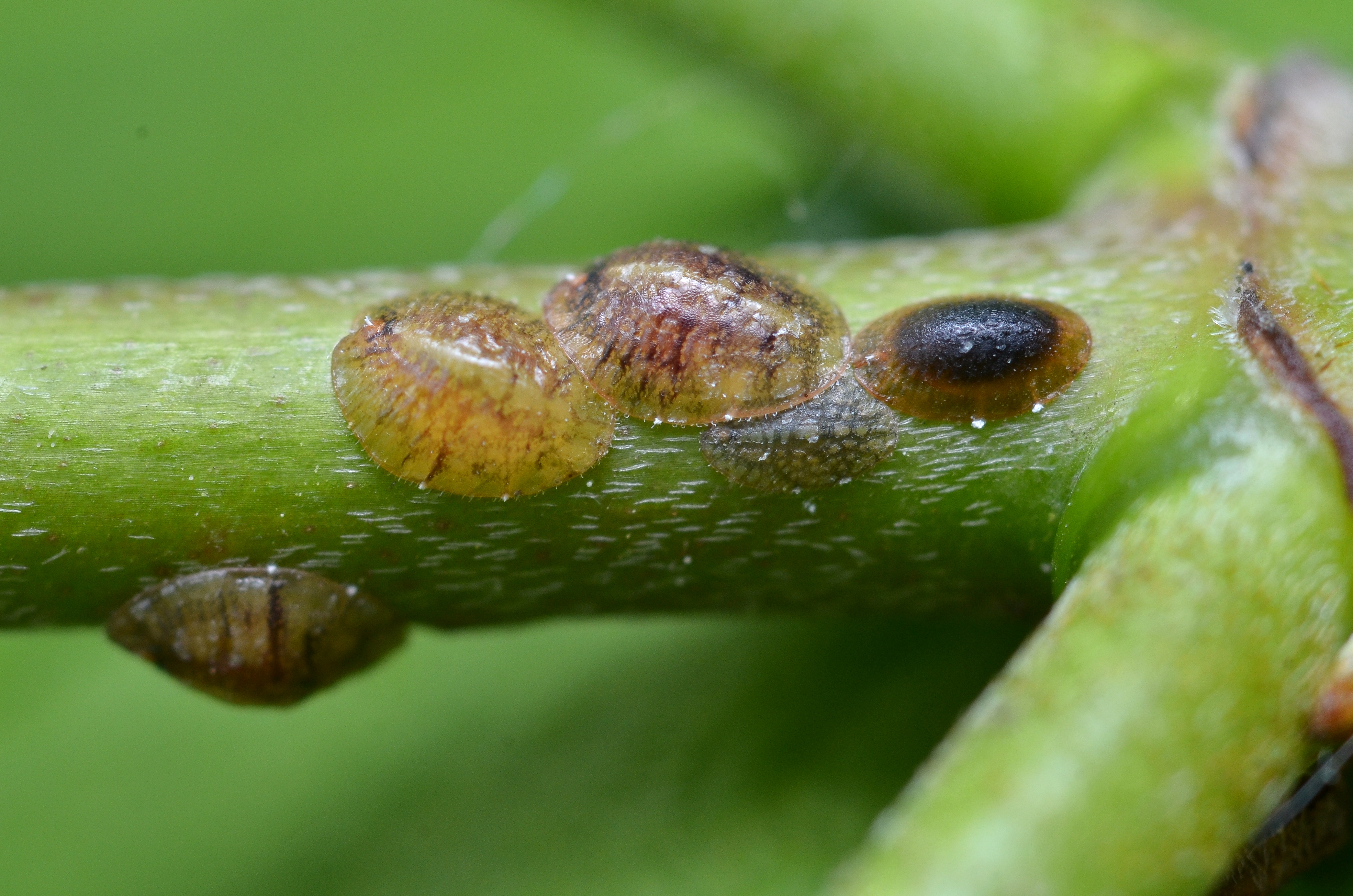 Description scale insects (7244837120)