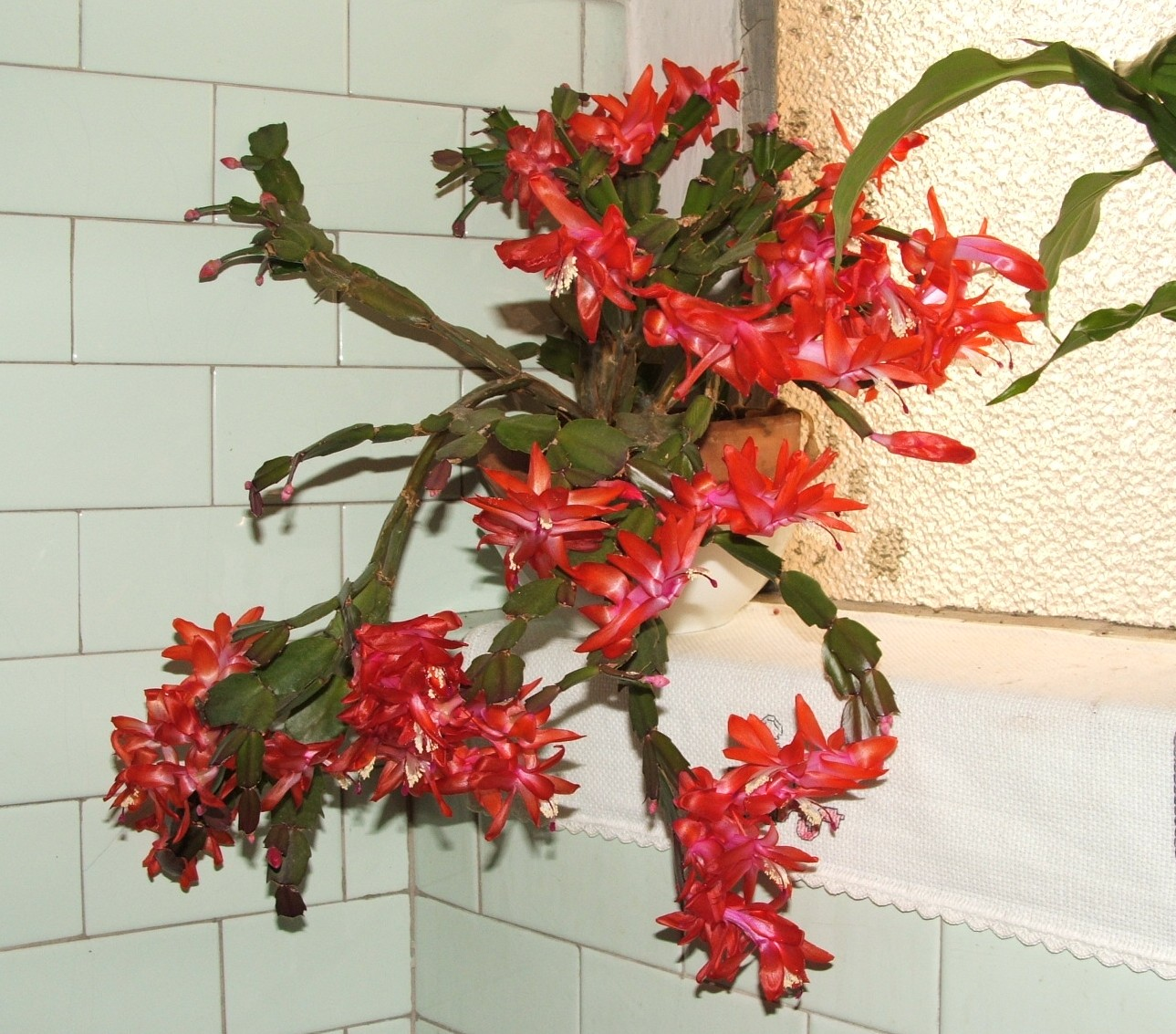 Декабрист цветок уход размножение