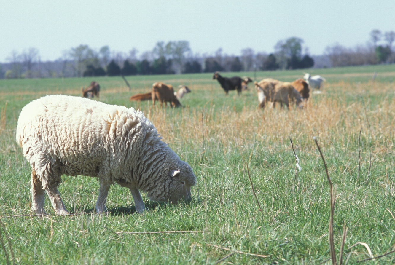 Sheep in field with other - Www nice pic other ...