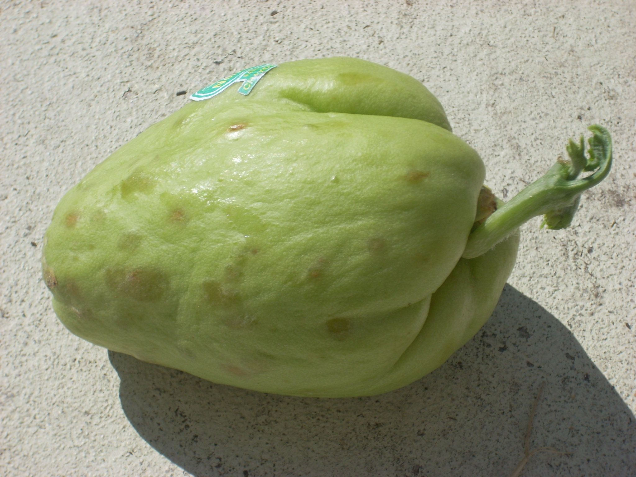 File:Sprouting-chayote-november.JPG - Wikimedia Commons