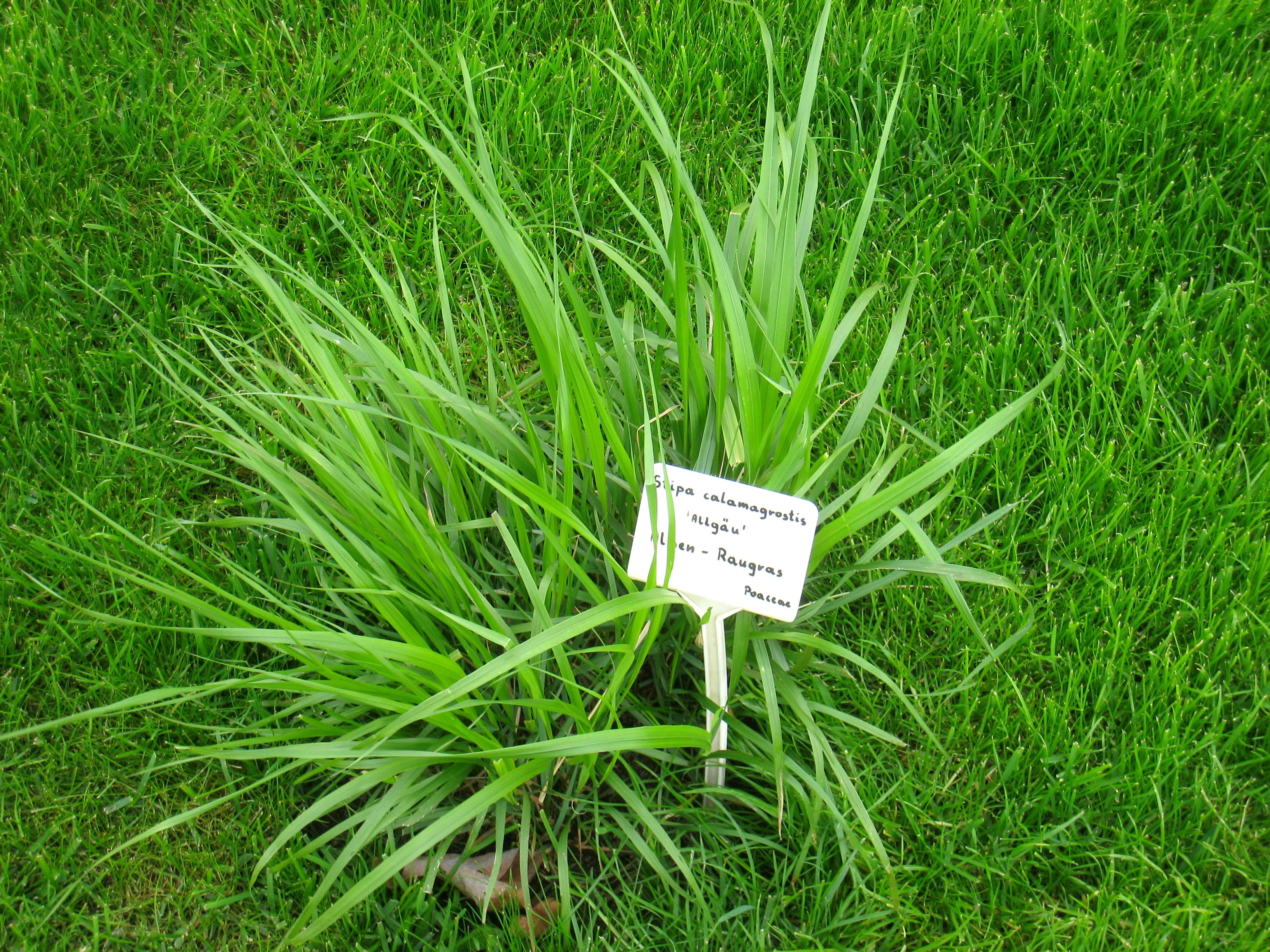File:Stipa Calamagrostis   Berlin Botanical Garden   IMG 8615.JPG