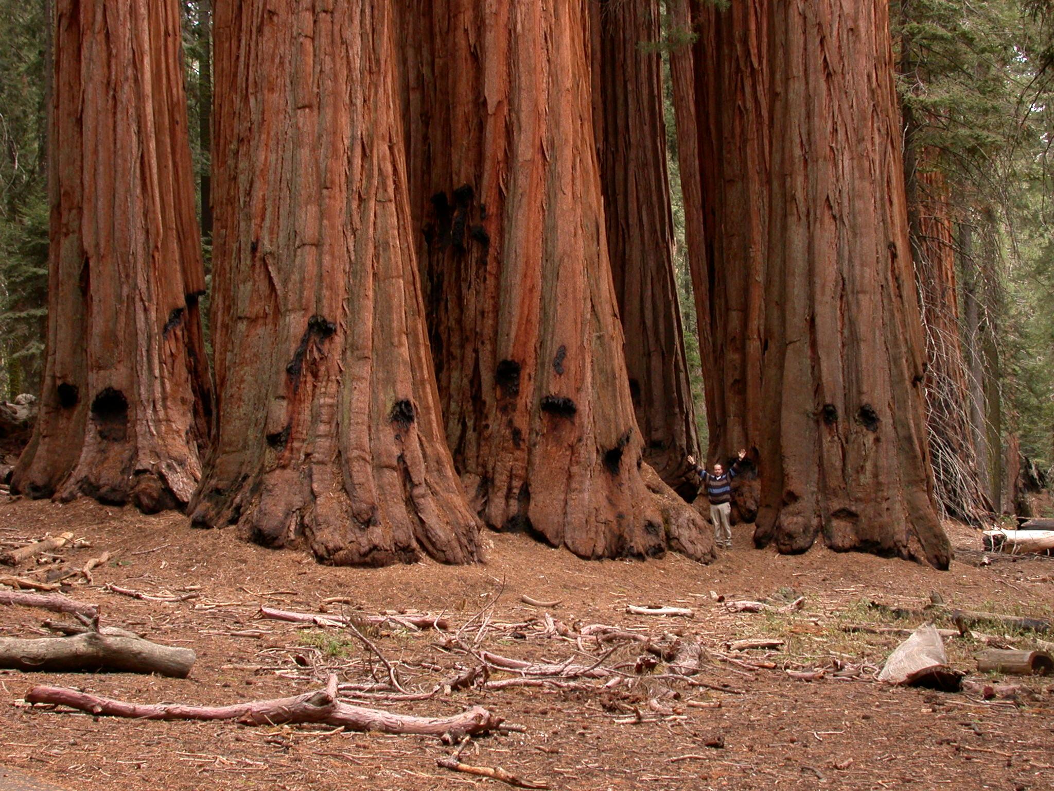 les plus grands arbres TheHouseGroupGiantForest