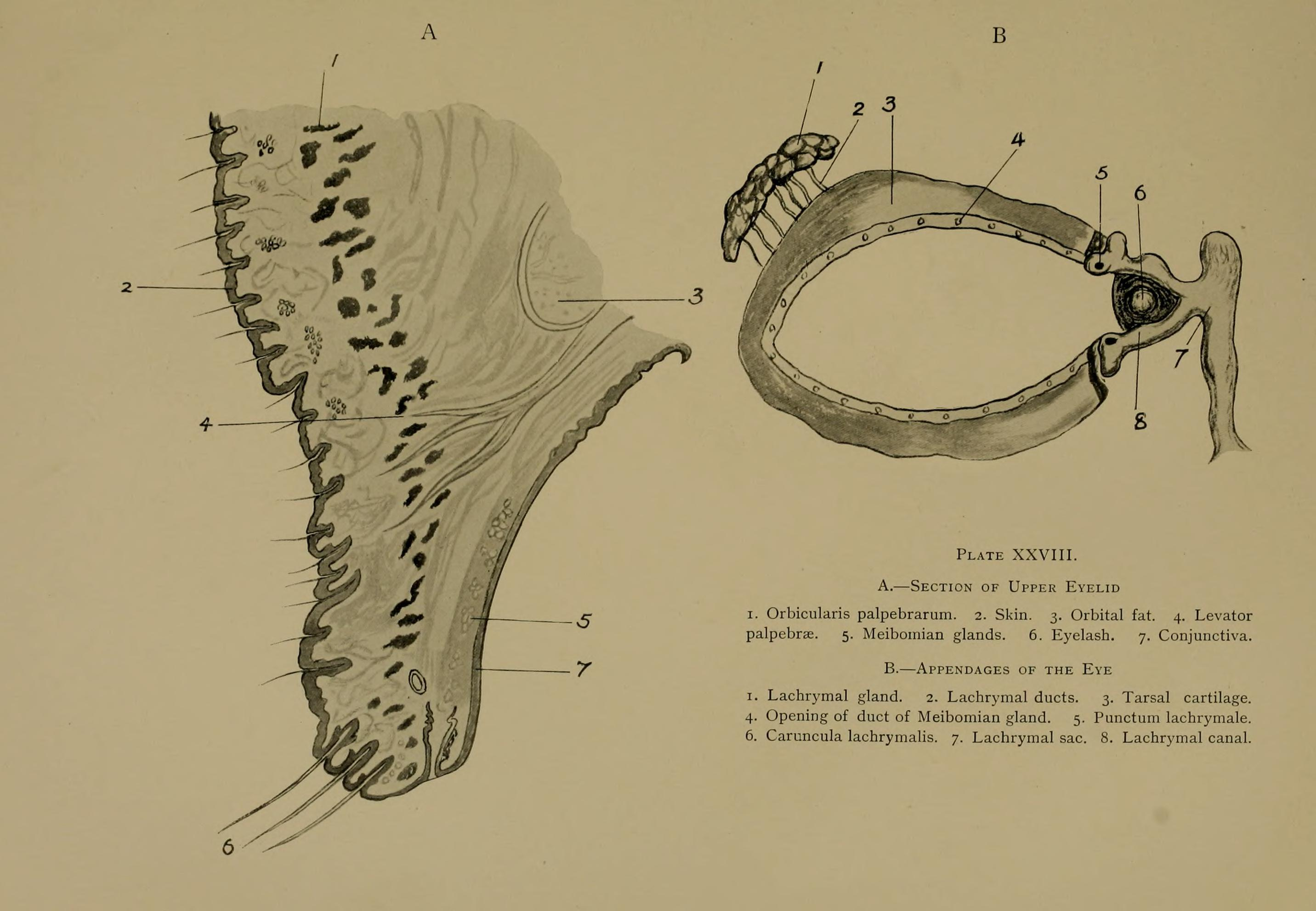 File:The surgical anatomy of the horse BHL19944938.jpg - Wikimedia ...