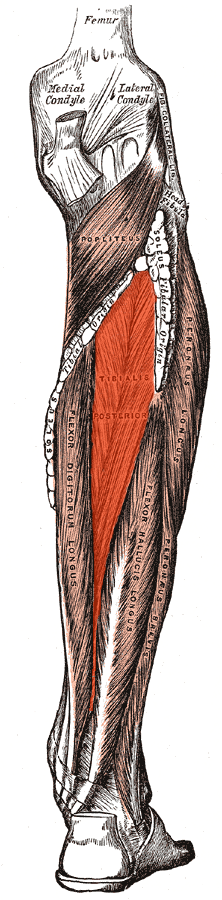 musculus tibialis posterior