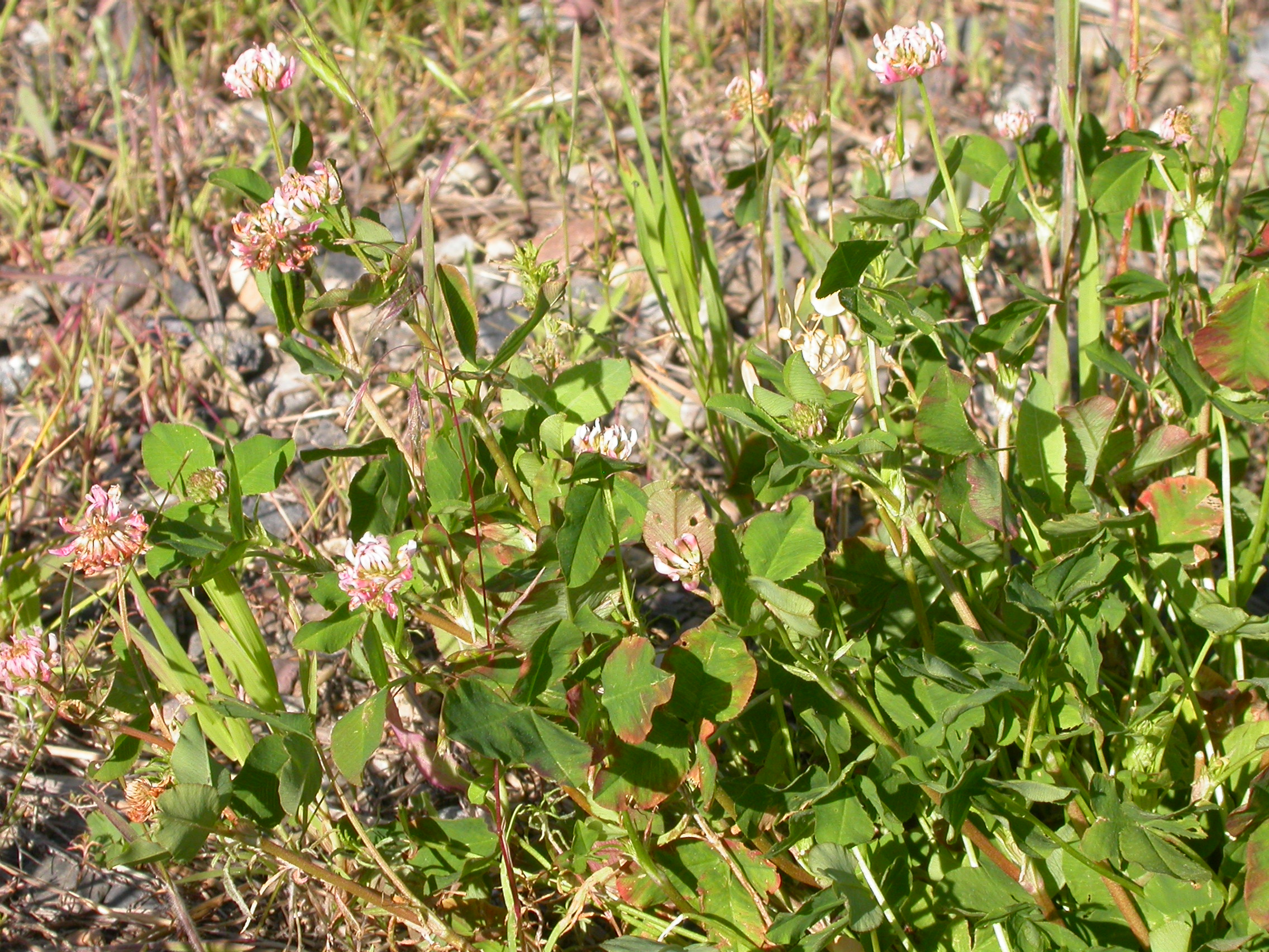 By Matt Lavin from Bozeman, Montana, USA (Trifolium hybridum Uploaded by Tim1357) [CC BY-SA 2.0 (http://creativecommons.org/licenses/by-sa/2.0)], via Wikimedia Commons