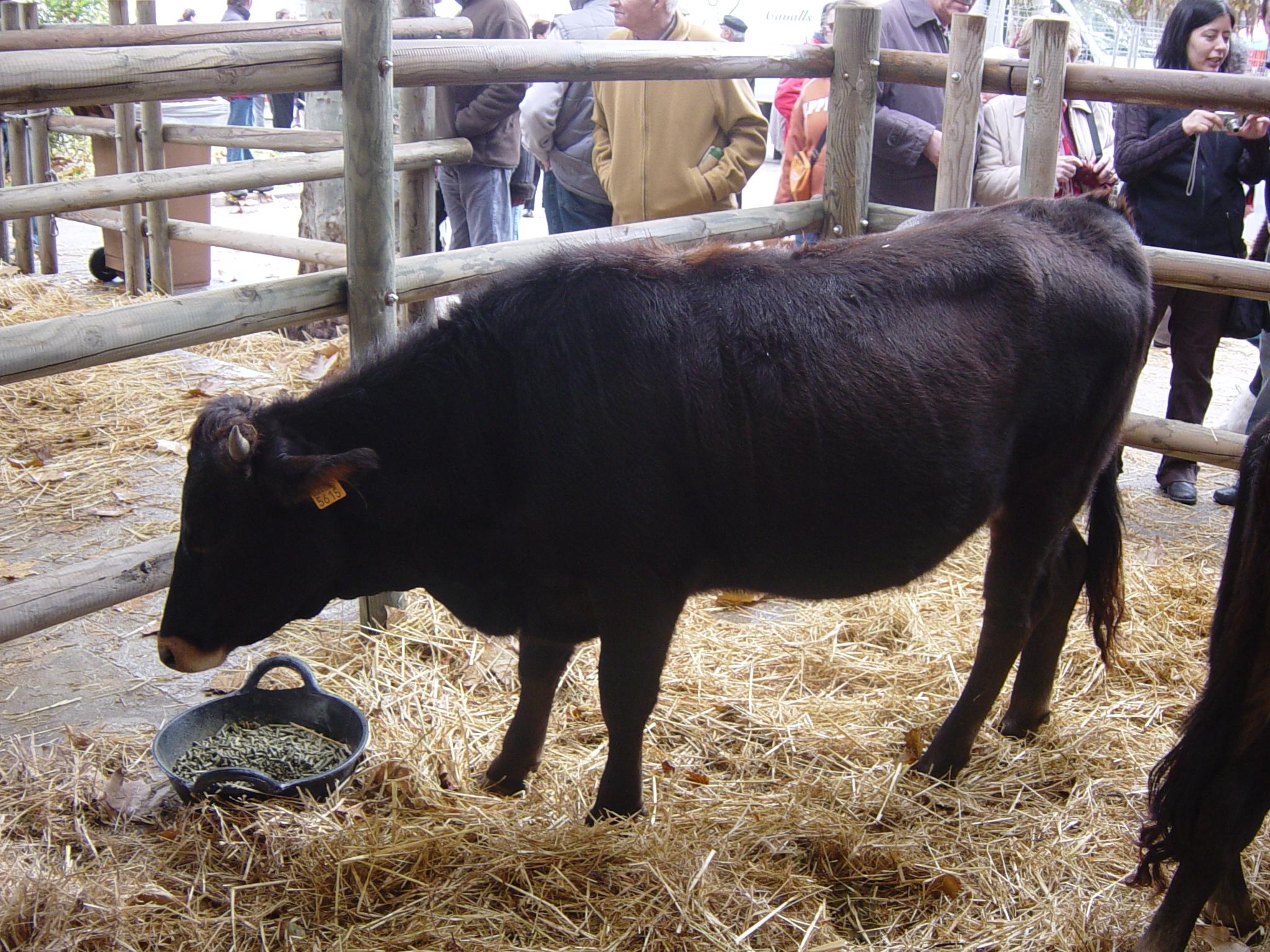 File:Vaca mallorquina.JPG - Wikimedia Commons