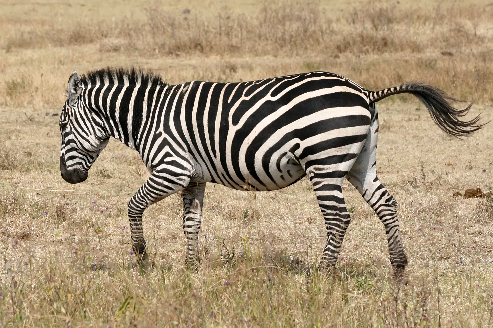 Why the Zebra Has Stripes