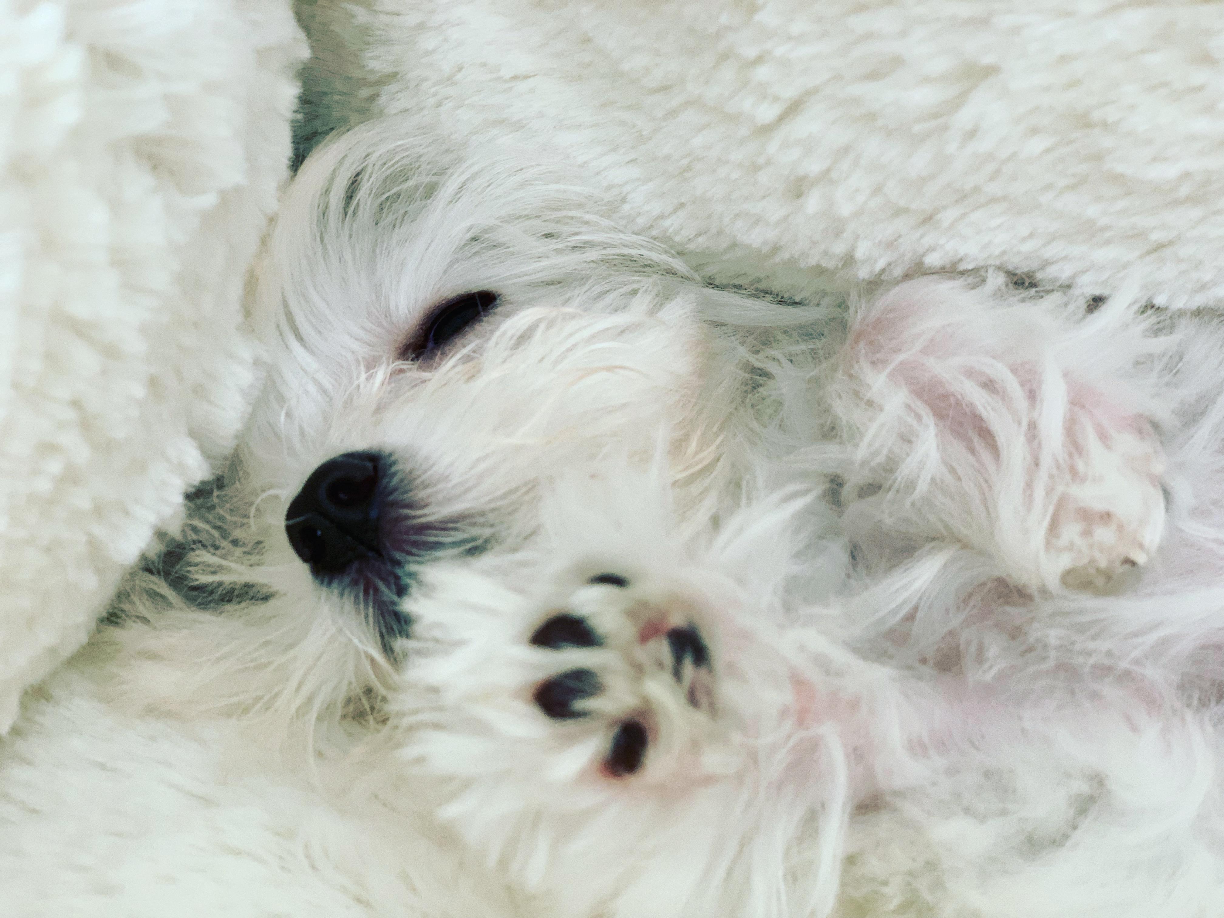 File 11 Week Old Maltese Puppy Sleeping Jpg Wikimedia Commons