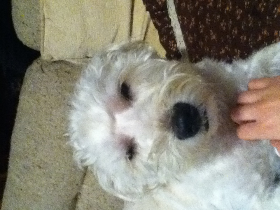 Image Result For Westie Poodle Mix