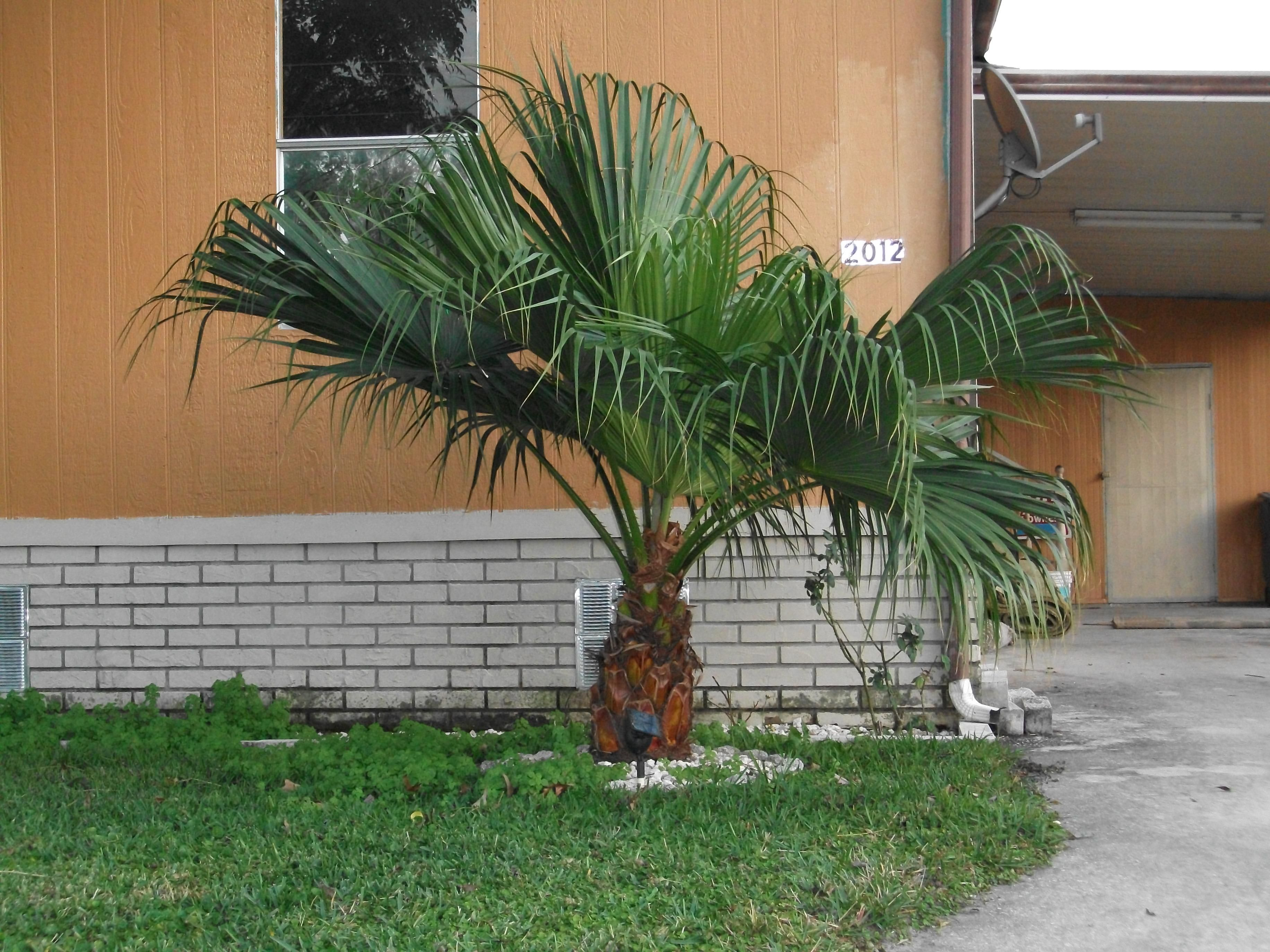 file a small palm tree of some sort jpg wikimedia commons
