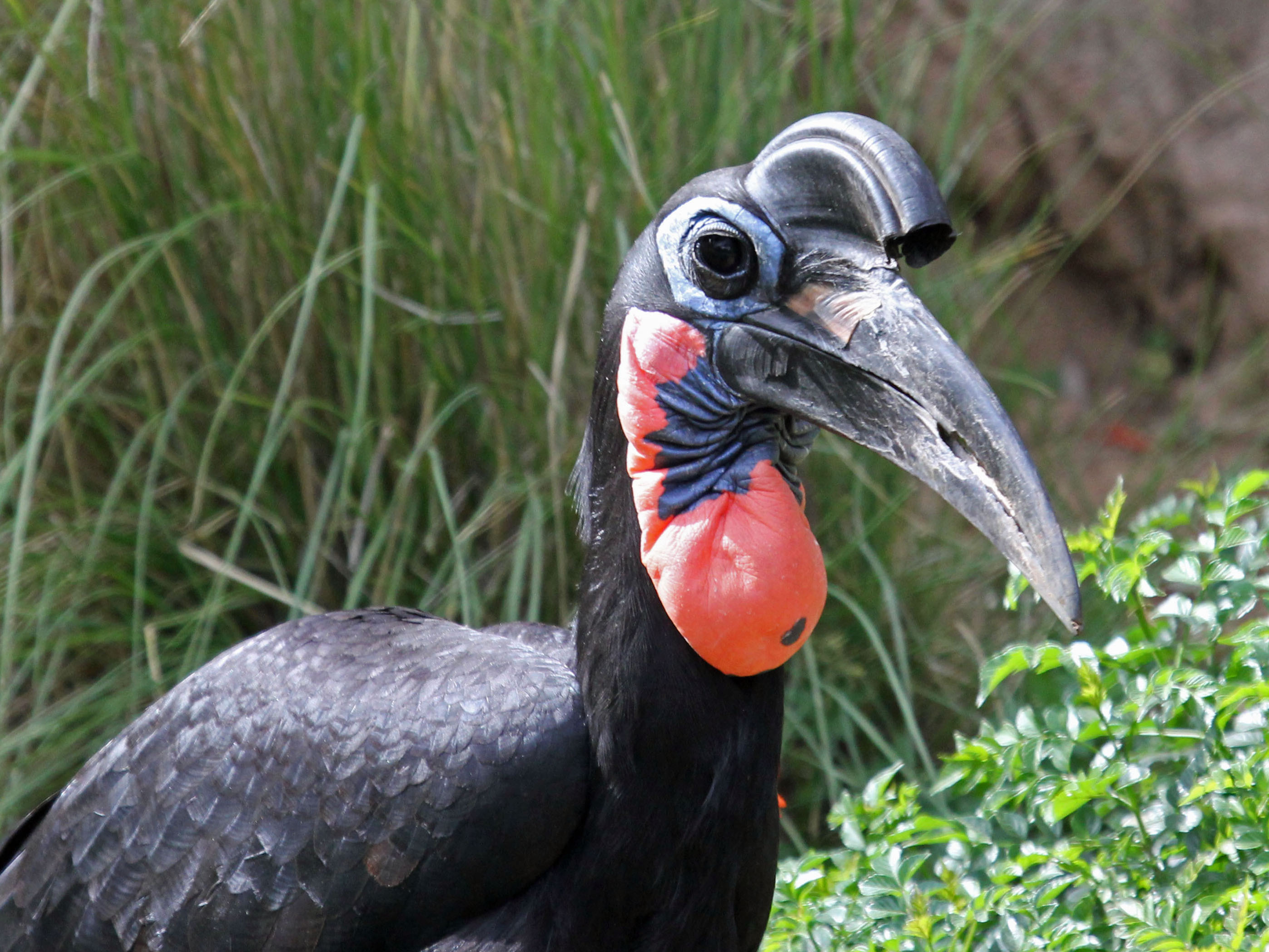 File:Abyssinian Ground Hornbill RWD3.jpg - Wikimedia Commons