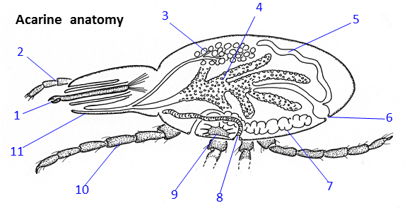 1 Chelicerae, 2 Palps, 3 Salivary glands, 4 Gut, 5 Excretory (Malpighian) tubules, 6 Anus, 7 Ovary or testes, 8 Air-breathing tubes (tracheae), 9 Central ganglion, 10 Legs, 11 Hypostome.[12]