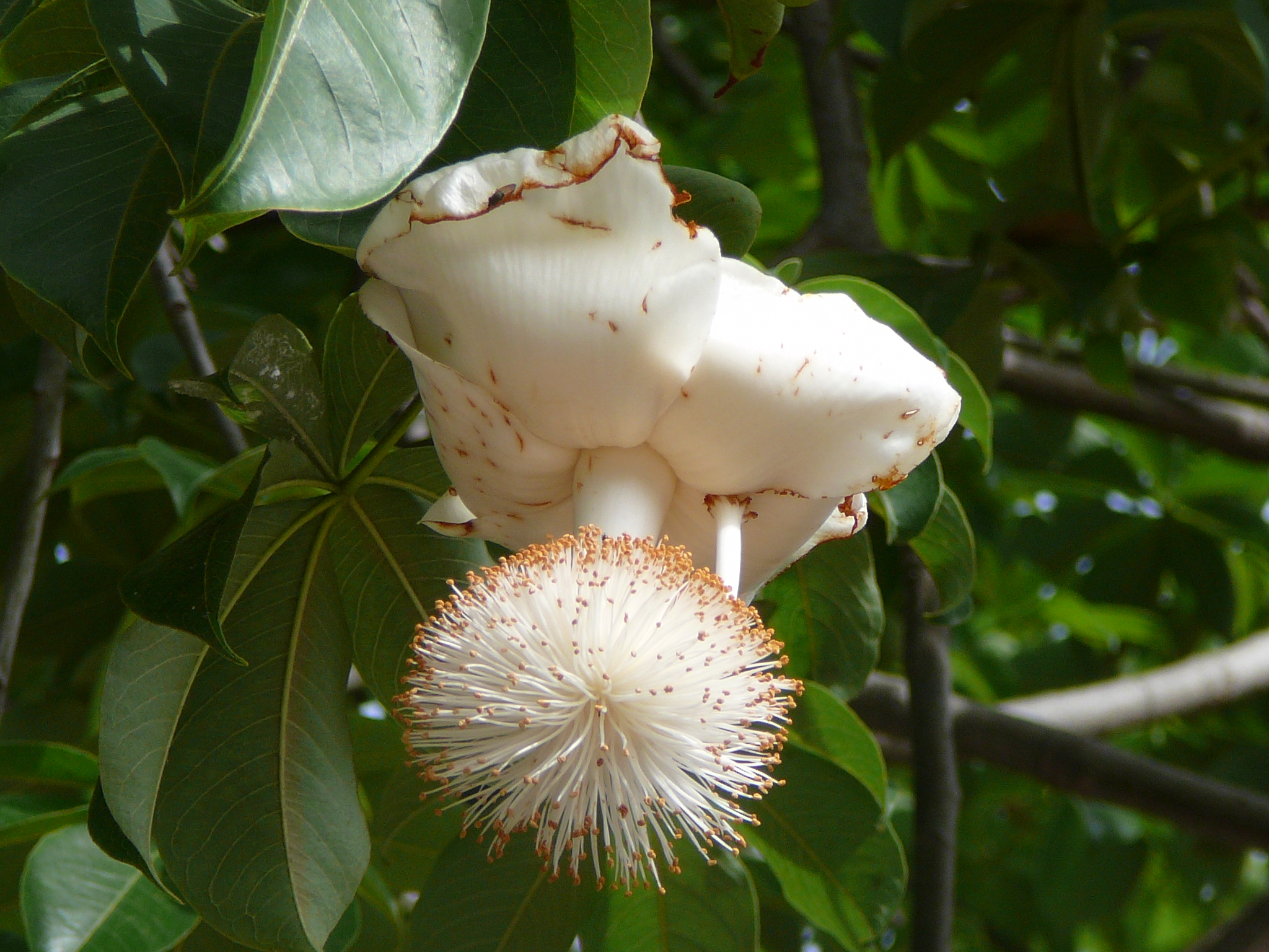 "Image 5: ""Open flower of Baobab Tree"" taken by Adamari. [9]"