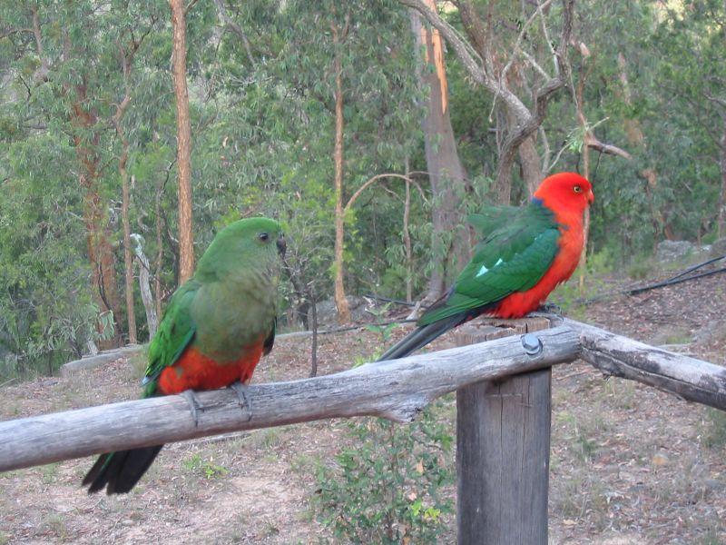 Australijski kraljevski papagaj (Alisterus scapularis) Alisterus_scapularis_-_Australian_King_Parrot_pair
