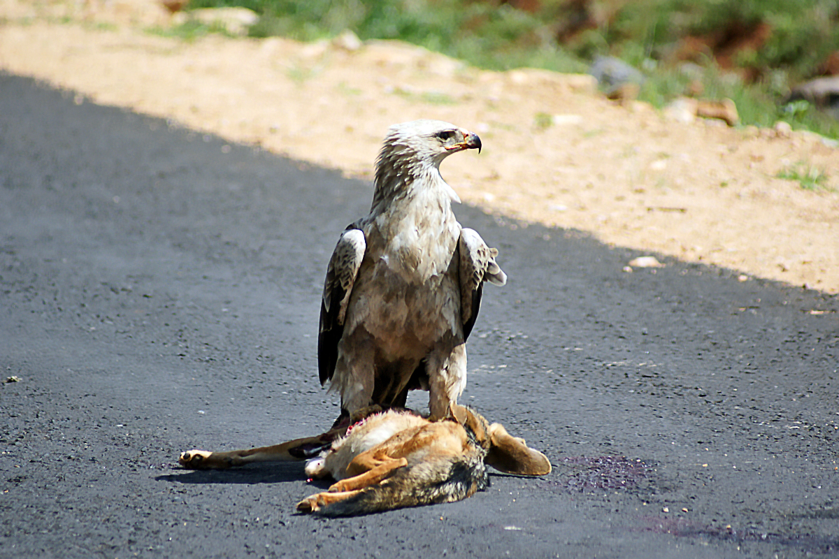 FileAquila Rapax Ethiopia With Roadkill 8