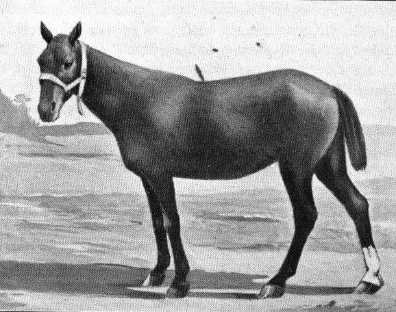 Basuto Pony - Horse Scanner