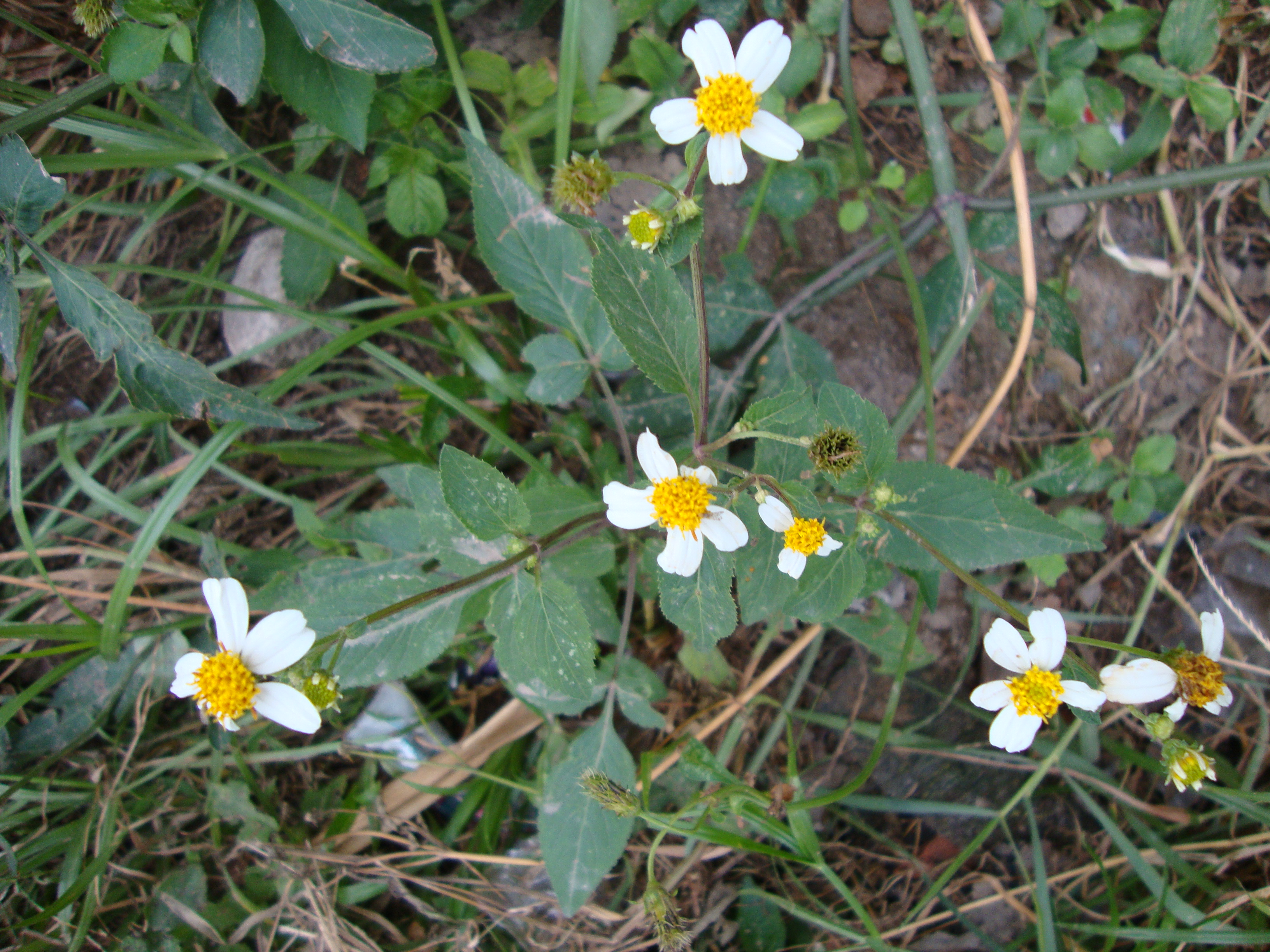 http://upload.wikimedia.org/wikipedia/commons/4/4a/Bidens_pilosa_(5).JPG