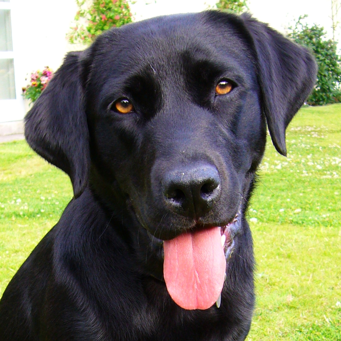 File:Black Labrador Retriever portrait.jpg - Wikipedia, the free ...