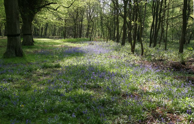 Bluebells in Clumber Park - geograph.org.uk - 794483