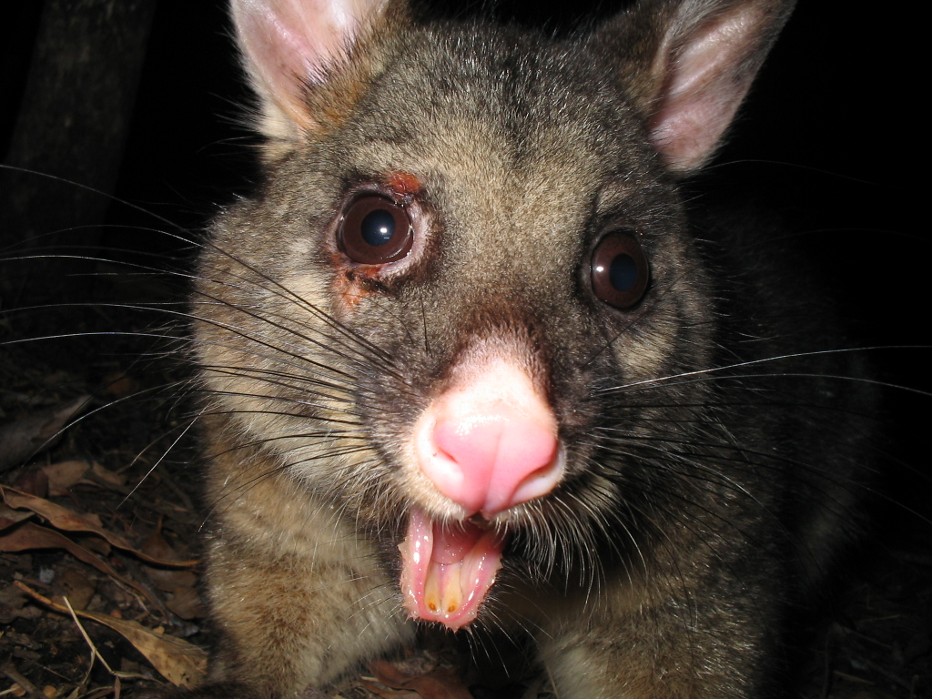 Whats a possum look like