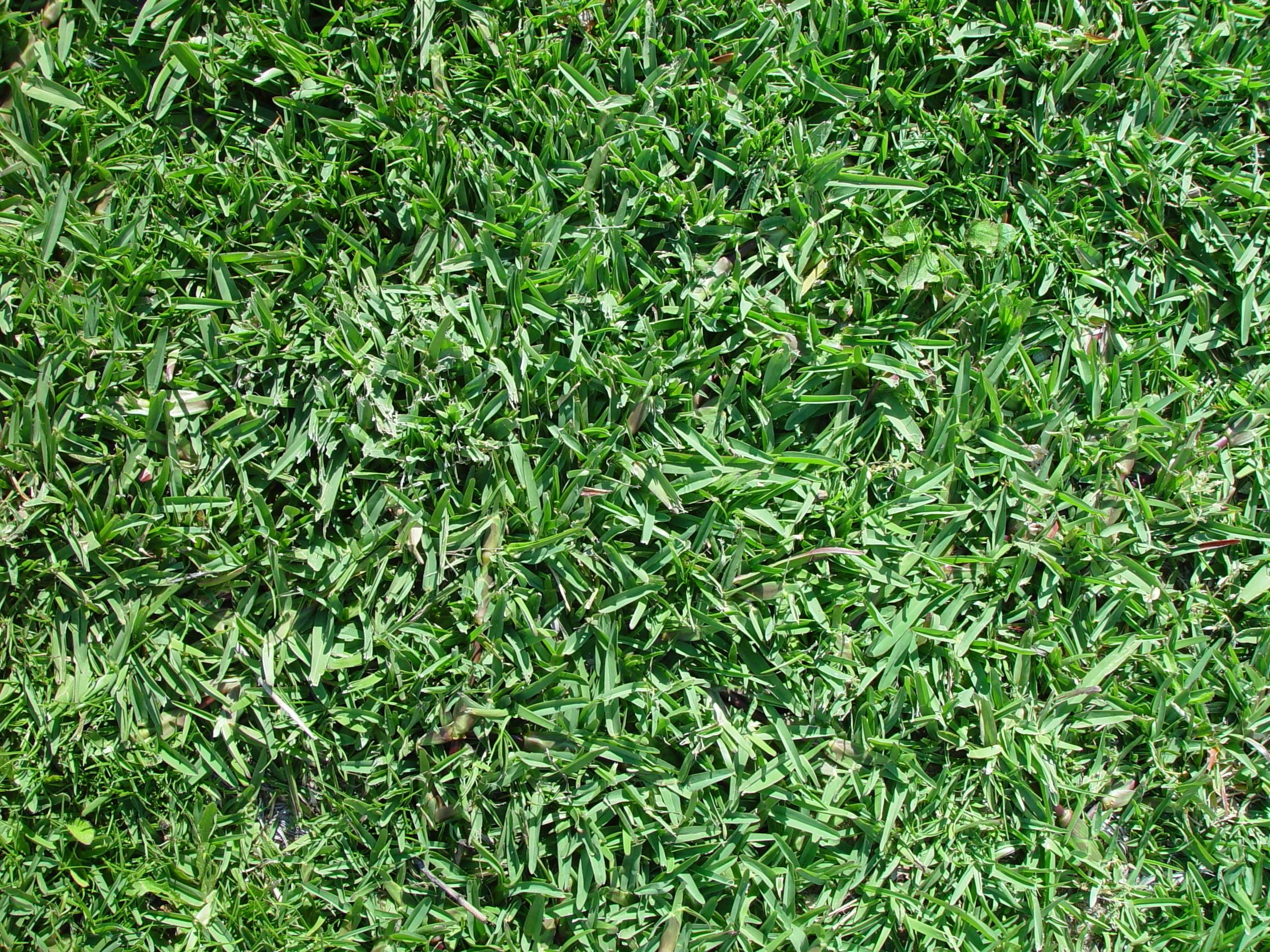 Buffalograss - What Kind of Grass Do I Have?