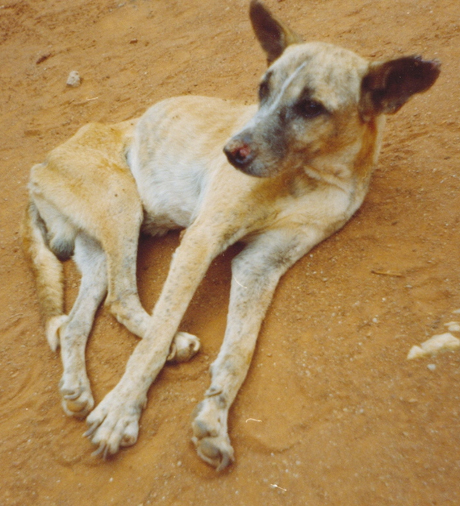 """A dog displaying a typical clinical picture of visceral leishmaniasis. Filipe Dantas-Torres - Dantas-Torres F. (2008). """"Canine vector-borne diseases in Brazil"""". Parasites & Vectors 1 (1): 25."""