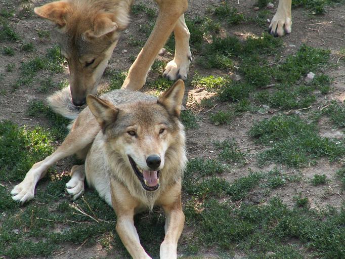 Canis lupus Parc des Loups 001