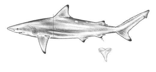 White Tip Reef Shark Drawing Drawing of a Spinner Shark And