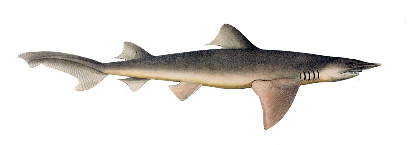 Breitflossenhai (Lamiopsis temminckii) aus der Erstbeschreibung von Müller & Henle